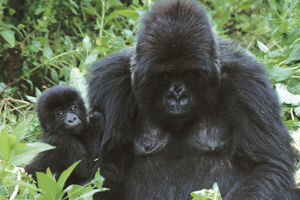 photographer galleries/nature production collection/grauers gorillas gorilla beringei graueri