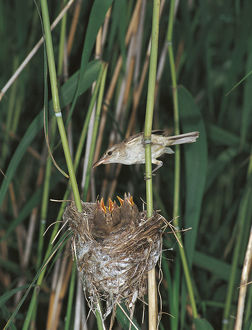 photographer galleries/nature production collection/great reed warbler acrocephalus arundinaceus