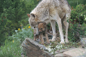photographer galleries/nature production collection/grey wolf canis lupus