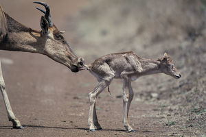 photographer galleries/nature production collection/hartebeest alcelaphus buselaphus