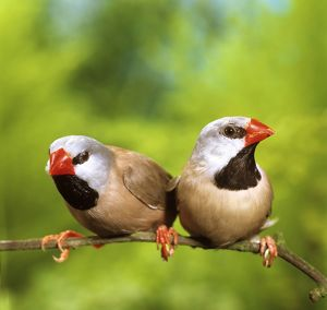 Heck's long-tailed finches (Poephila acuticauda hecki)