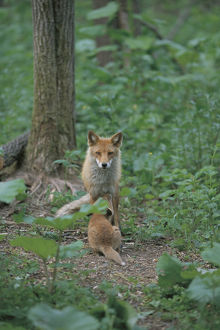 photographer galleries/nature production collection/hokkaido fox vulpes vulpes schrencki