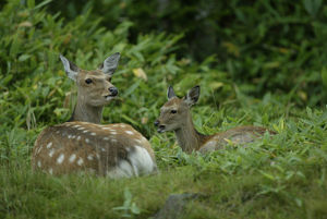 photographer galleries/nature production collection/hokkaido sika deer cervus nippon yesoensis