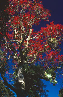photographer galleries/roger brown/illawarra flame tree brachychiton acerifolius