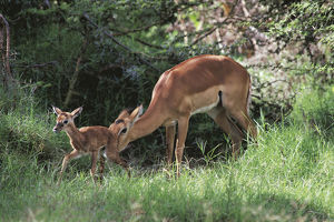 photographer galleries/nature production collection/impala aepyceros melampus