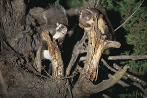 photographer galleries/nature production collection/japanese giant flying squirrels petaurista