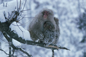 photographer galleries/nature production collection/japanese macaque macaca fuscata