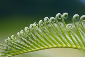 photographer galleries/nature production collection/japanese sago palm cycas revoluta frond detail