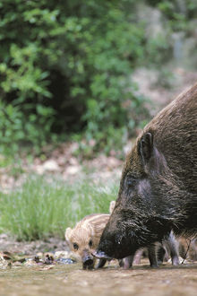 photographer galleries/nature production collection/japanese wild boar sus scrofa leucomystax