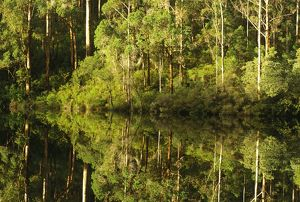 Karri forest reflected in the waters of a dam.