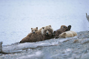 photographer galleries/nature production collection/kodiak bear ursus arctos middendorffi
