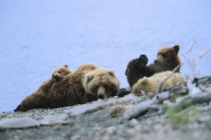 photographer galleries/nature production collection/kodiak bears ursus arctos middendorffi