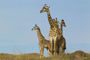 photographer galleries/mary ann mcdonald/masai giraffe giraffa camelopardalis
