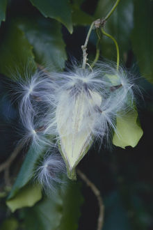 photographer galleries/nature production collection/milkweed marsdenia tomentosa setting seed tokyo