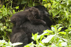 photographer galleries/mary ann mcdonald/mountain gorilla gorilla beringei beringei
