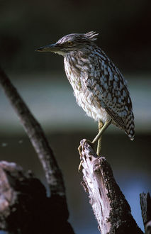 photographer galleries/roger brown/nankeen night heron nycticorax caledonicus