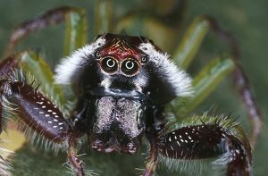 Northern jumping spider (Mopsus mormon)