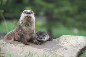 photographer galleries/nature production collection/northern river otter lontra canadensis