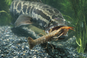 photographer galleries/nature production collection/northern snakehead channa argus