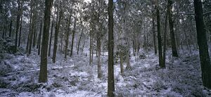Open forest with winter snowfall