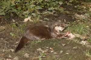 Oriental small-clawed otter (Aonyx cinerea)