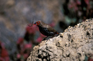 photographer galleries/roger brown/painted firetail emblema pictum