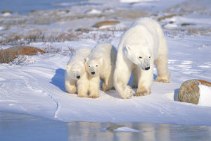 photographer galleries/nature production collection/polar bear ursus maritimus