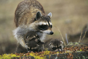 photographer galleries/nature production collection/raccoon procyon lotor