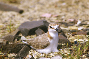 photographer galleries/roger brown/red capped plover charadrius ruficapillus