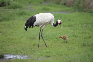 photographer galleries/nature production collection/red crowned crane grus japonensis