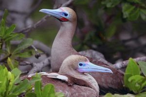 Red-footed boobies (Sula sula)