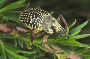Red-legged weevil (Catasarcus impressipennis)