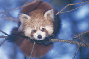 photographer galleries/nature production collection/red panda ailurus fulgens portrait resting