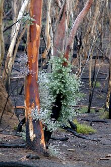 Regrowth on eucalyptus trees after bushfire,
