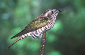 photographer galleries/roger brown/shining bronze cuckoo chrysococcyx lucidus