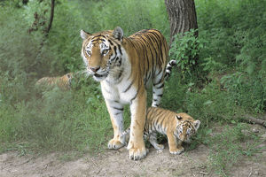 photographer galleries/nature production collection/siberian tiger panthera tigris altaica