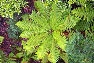 Soft tree fern (Dicksonia antarctica) from above, Tarkine Wilderness