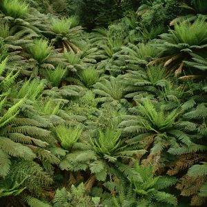 Soft tree ferns (Dicksonia antarctica)
