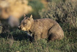 Southern hairy-nosed wombat (Lasiorhinus latifrons)
