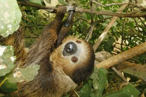 Southern two-toed sloth (Choloepus didactylus)