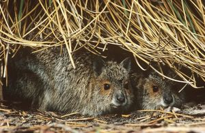 Spectacled hare-wallaby (Lagorchestes conspicillatus)