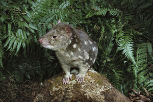 photographer galleries/roger brown/spotted tailed quoll dasyurus maculatus