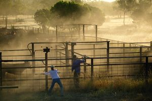 Stockmen separating calves from heifers for branding,