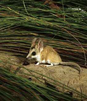 Stripe-faced dunnart (Sminthopsis macroura)
