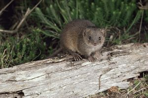 Swamp antechinus (Antechinus minimus)
