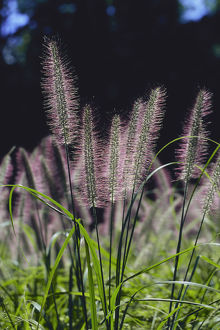 photographer galleries/nature production collection/swamp foxtail fountain grass pennisetum