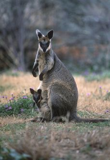 Swamp wallaby (Wallabia bicolor)