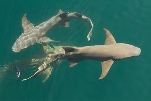 Tawny nurse sharks (Nebrius ferrugineus)