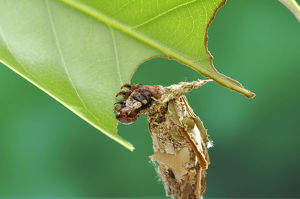 photographer galleries/nature production collection/tea bagworm moth eumeta minuscula