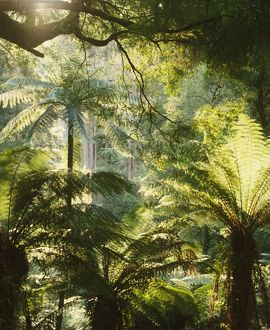 Tree ferns in cool temperate rainforest